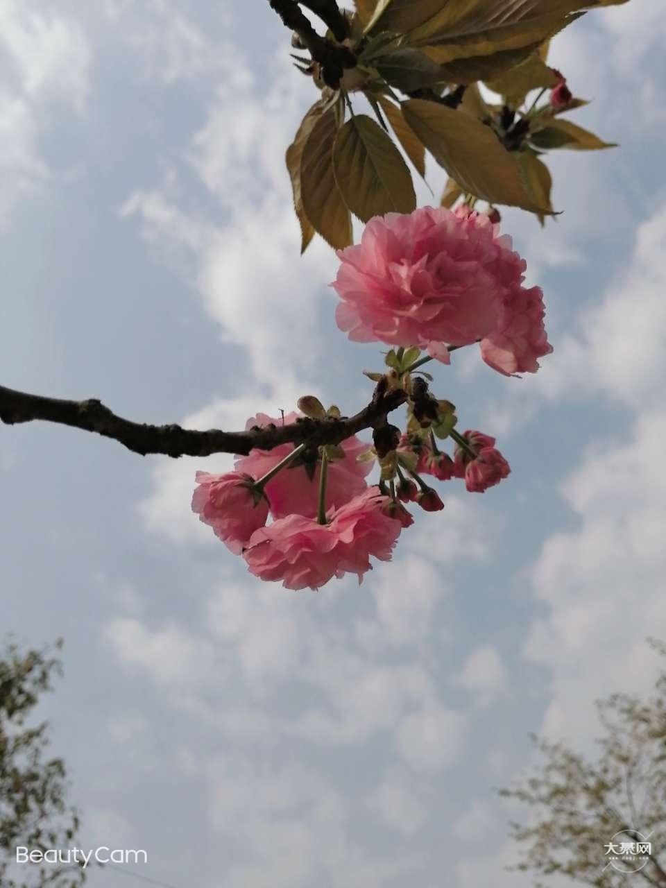 樱花开了,樱花山,人好多