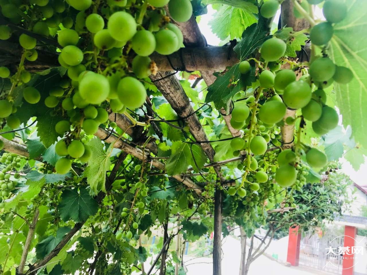 老家的仙人掌开花了,结了几个看到像是果果,今年葡萄结的也多