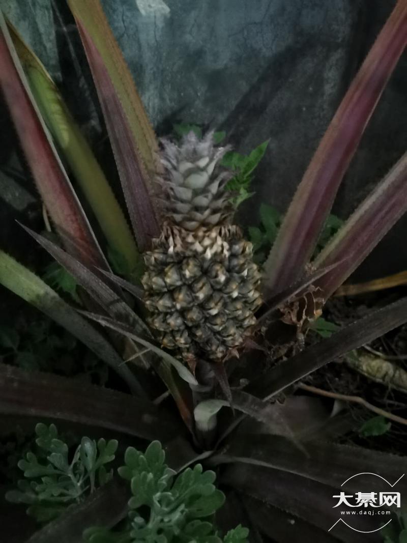 两年前买的菠萝,长出了新菠萝