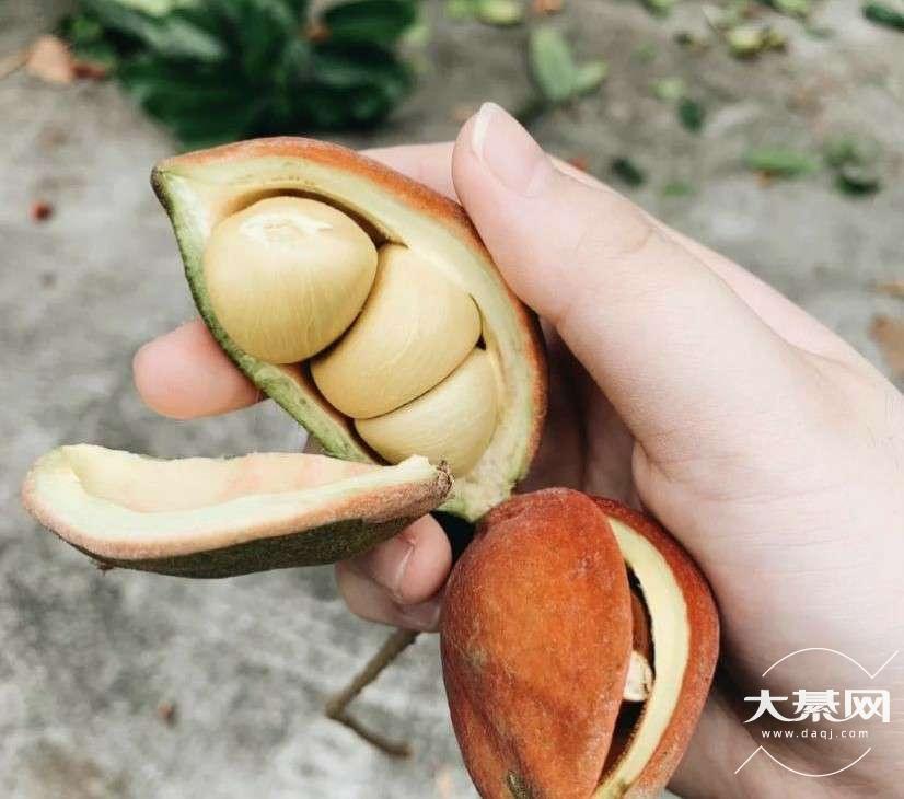 我打赌大多数人都没见过这个果子!我也是第一次见!